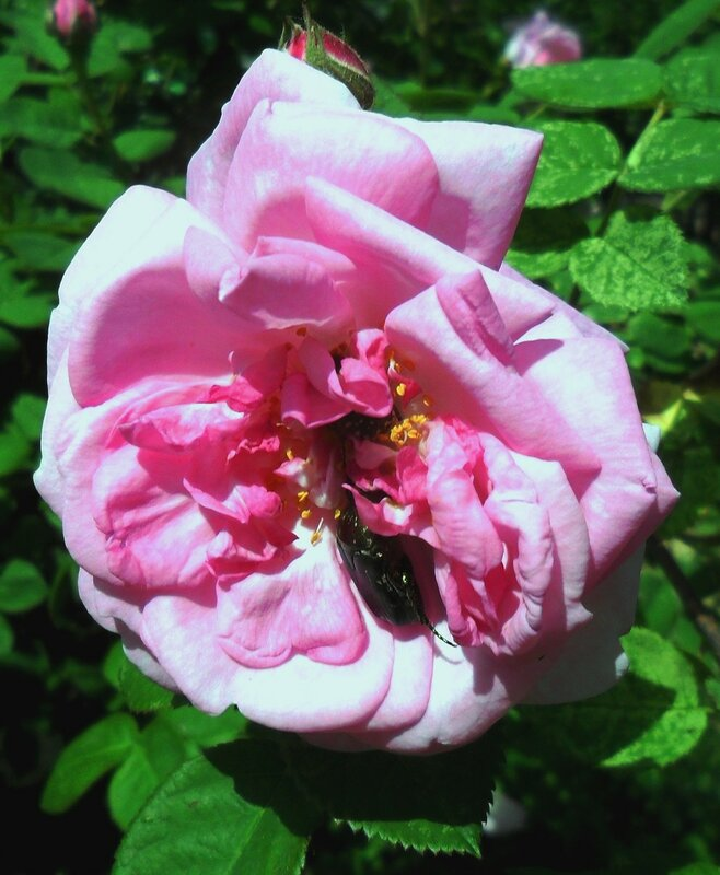 В цветущем мае ... SAM_8368.JPG