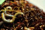 """Кивсяки """"билайн"""" (Anadenobolus monilicornis)"""