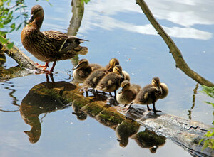 Мама с детками на брёвнышке