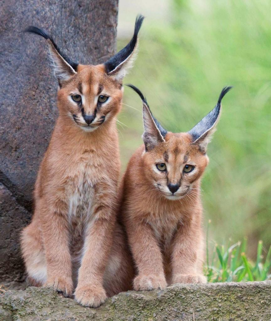 так имеет кошки с ушами как у рыси фото вкладка содержит