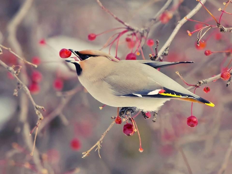 Пташка їсть ягоду