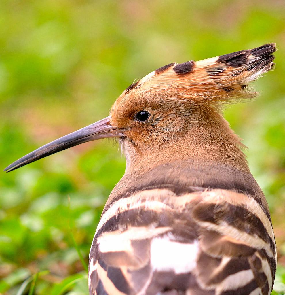 6. Крикливые зуйки гнездятся на земле, что делает их птенцов крайне уязвимыми. Если один из род