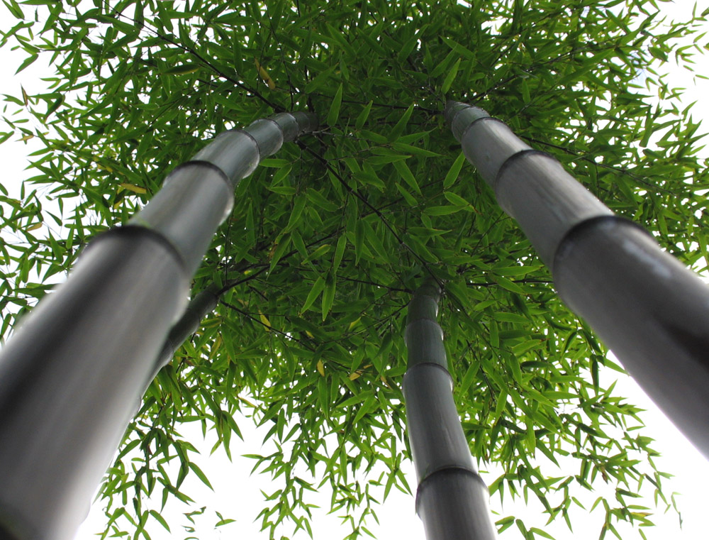 Бамбуковые рощи в фотографиях