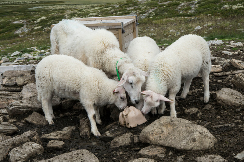 овцы в тундре лижут соль
