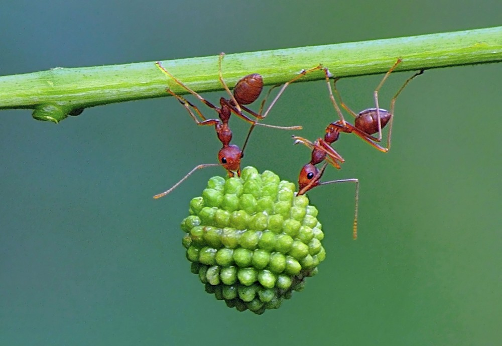 Ant Powerlifters
