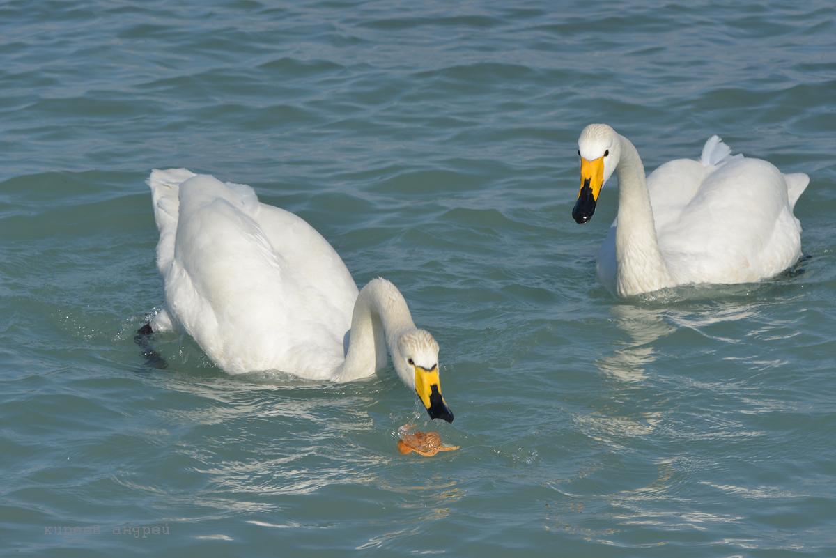 Лебеди в Крыму