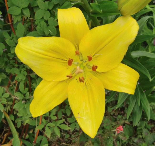 жовта лілія