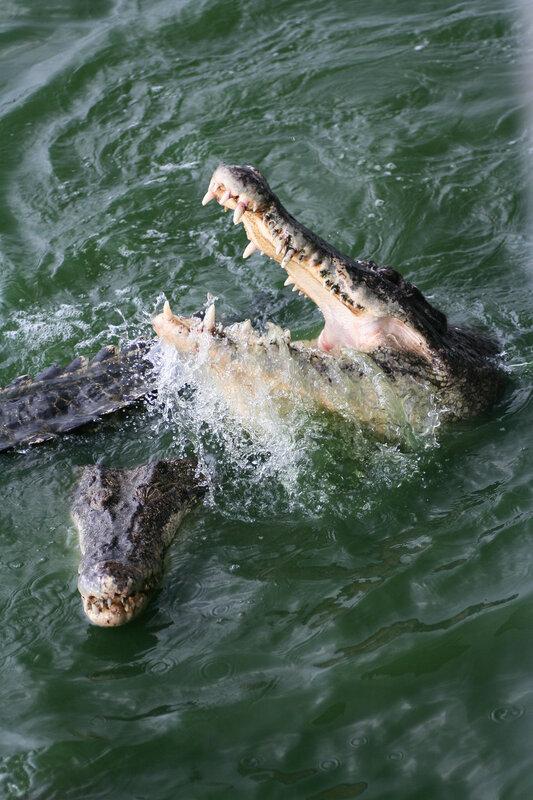 Сиамский крокодил