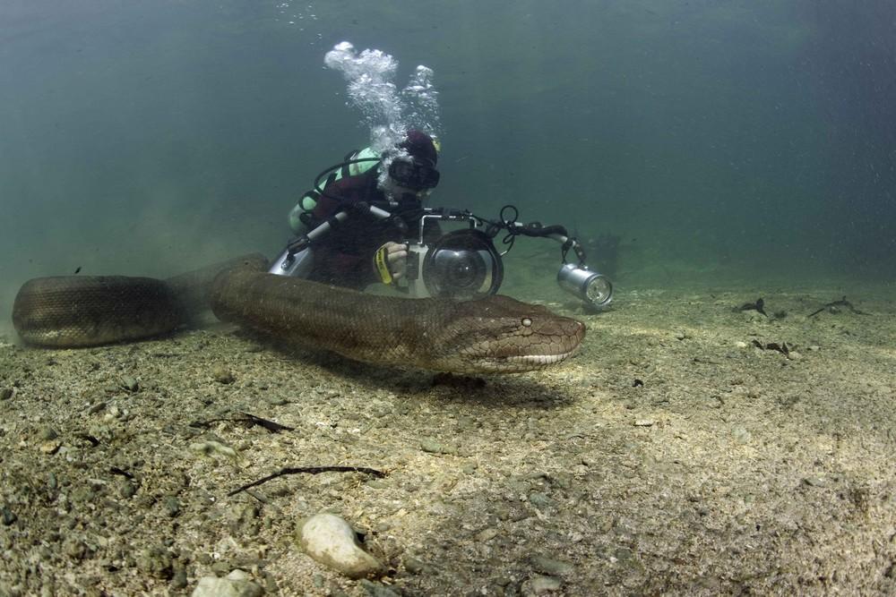 Brave Diver Swim With Deadly 8-Mt Anaconda!