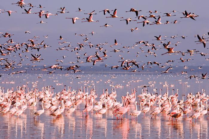 Птичье озеро Накуру. Красивые фотографии фламинго в Африке