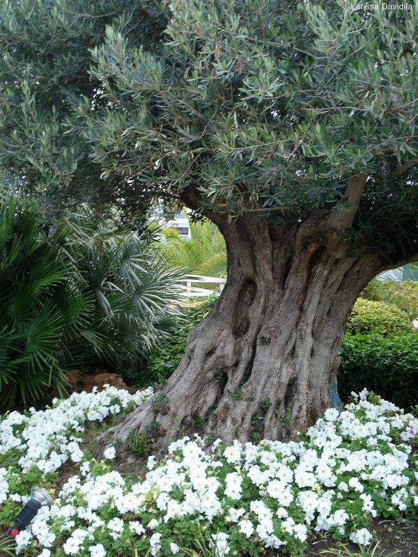 Оливковое дерево.