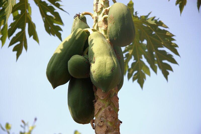 Экзотические плоды мира!  Папайя