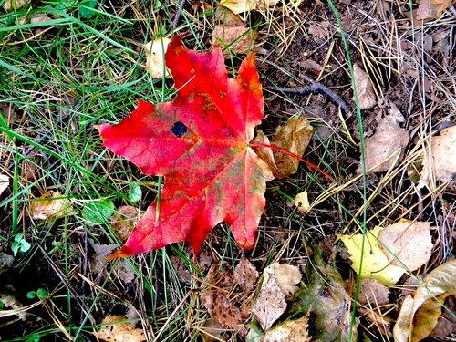 Красный лист*