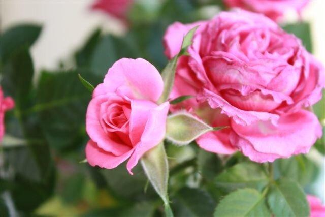Розы к дню рождения.