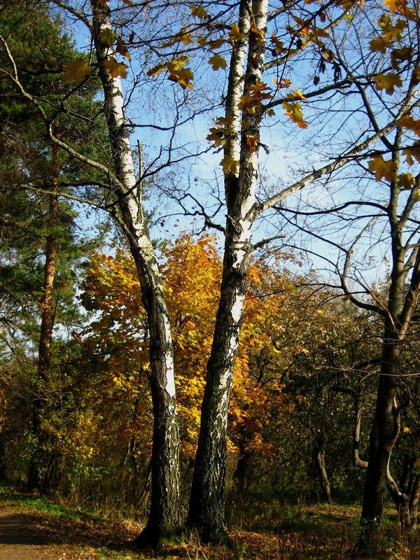 Береза и осень