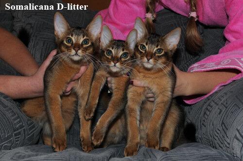 Котята сомали Д помет. почти 4 месяца
