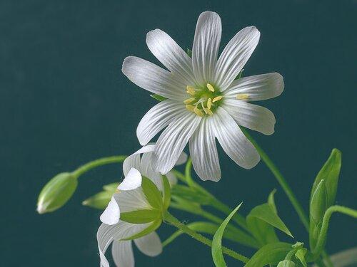 Звездчатка ланцетолистная (Stellaria holostea) Автор: Юрий Семенов