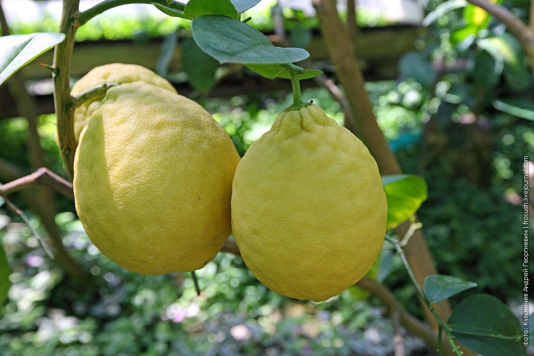 лимоны в лимонарии
