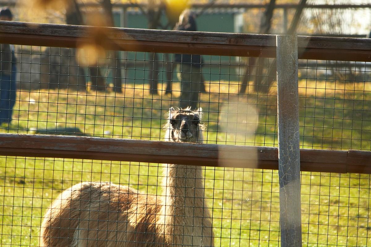 Лама в мини-зоопарке