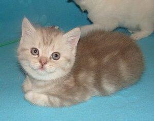 лиловый серебристый мраморный британский короткошерстный кошка