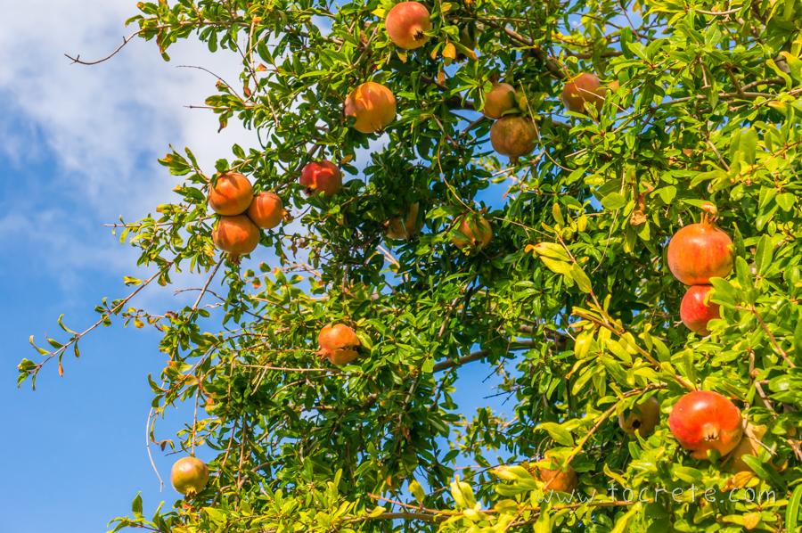 Гранат на Крите | Pomegranate in Crete