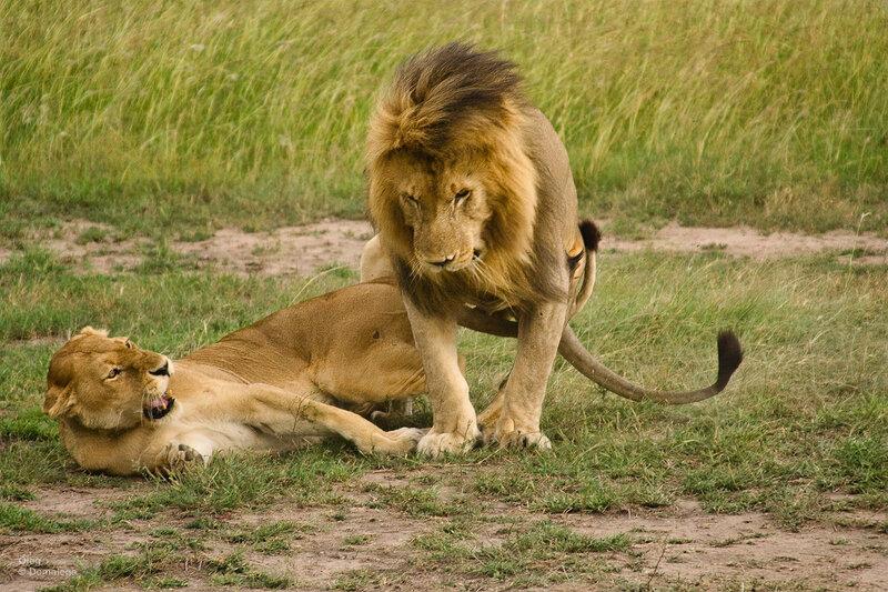 Львы Масаи Мара