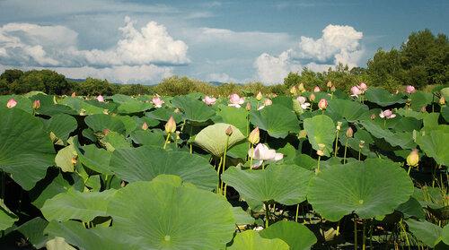 Лотосы озера Ханка