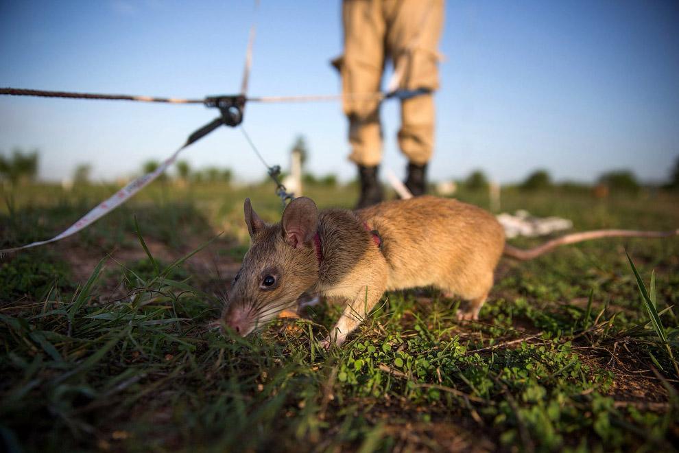 12. Обезвреженная «мина». (Фото Samrang Pring | Reuters):