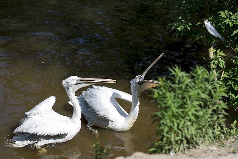 обед пеликанов3