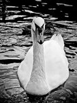 Белый лебедь на черной воде...