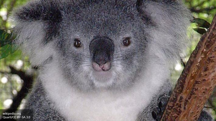 ВАвстралии агрессивная коала пробовала догнать квадроцикл