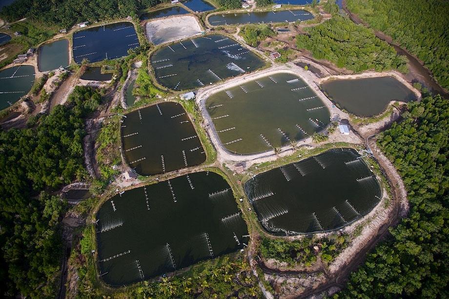 30. Креветочная ферма в Таиланде.