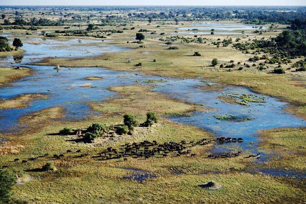 5. Африканский буйвол в дельте реки Окаванго