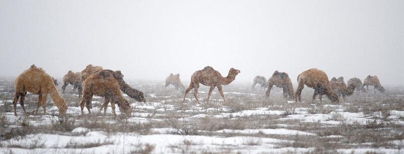 верблюды в степи зимой, Казахстан
