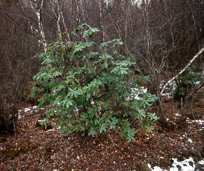 Рододендрон в березовом лесу