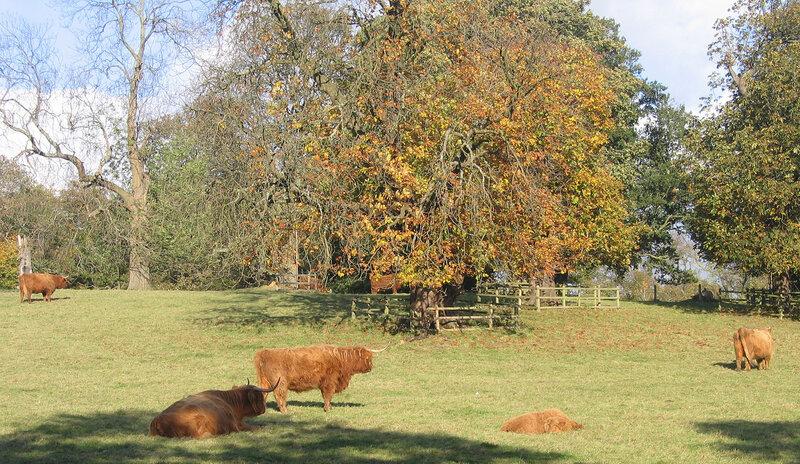 Осенние коровы