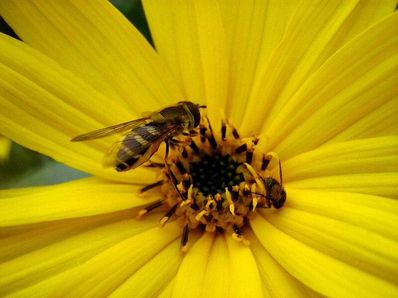 Яркий цвет и пчела