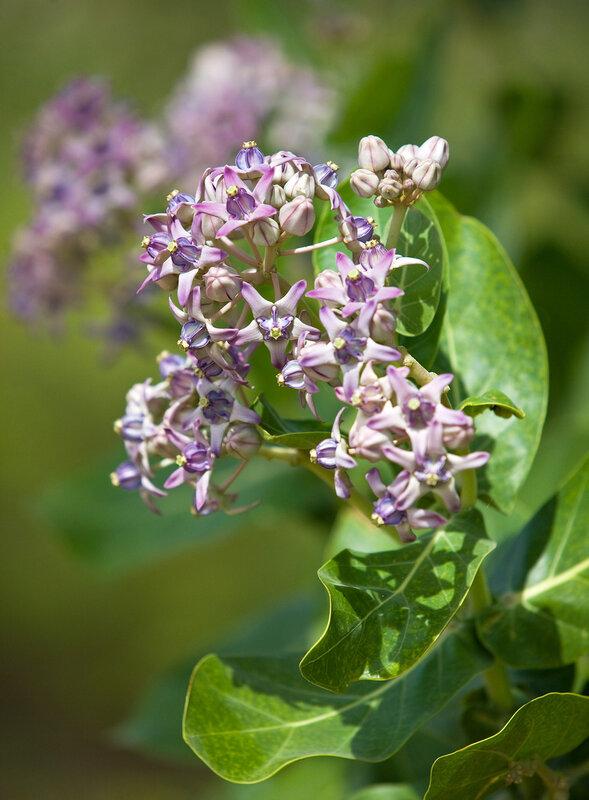 Шри-Ланкийские цветы.