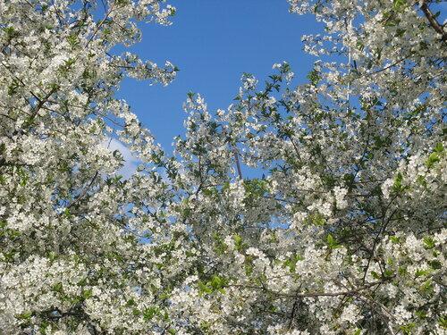 Мамины вишни