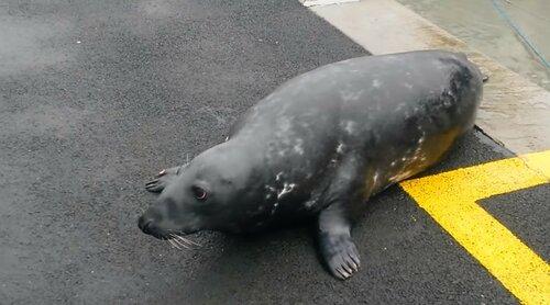 Тюлень выпрашивает рыбку