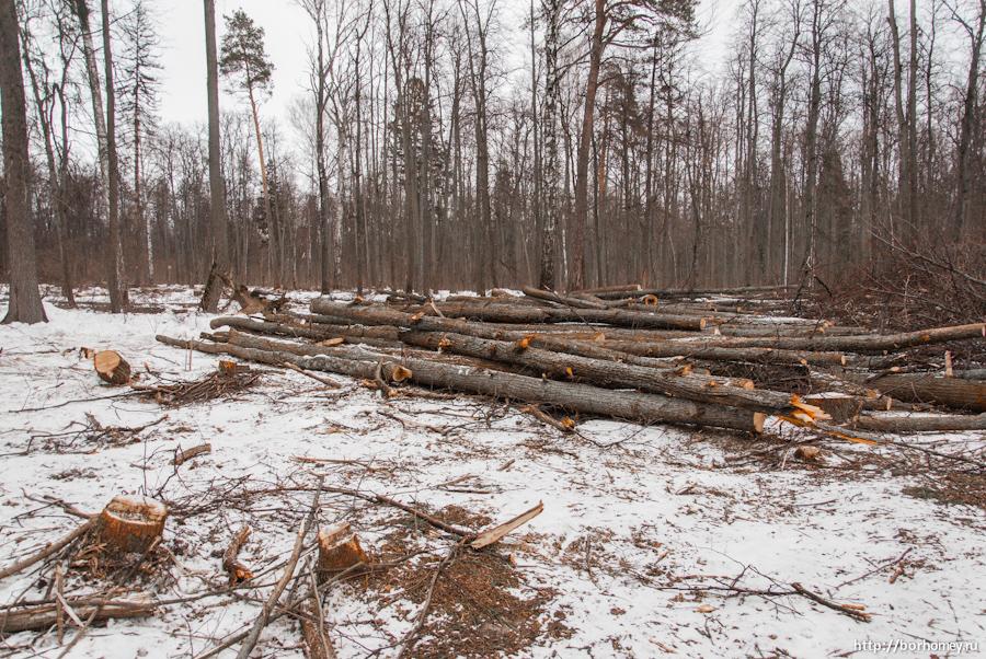 вырубка леса в Сарове