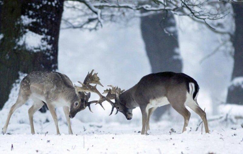 Полицейский расстрелял оленей, чтобы их спасти