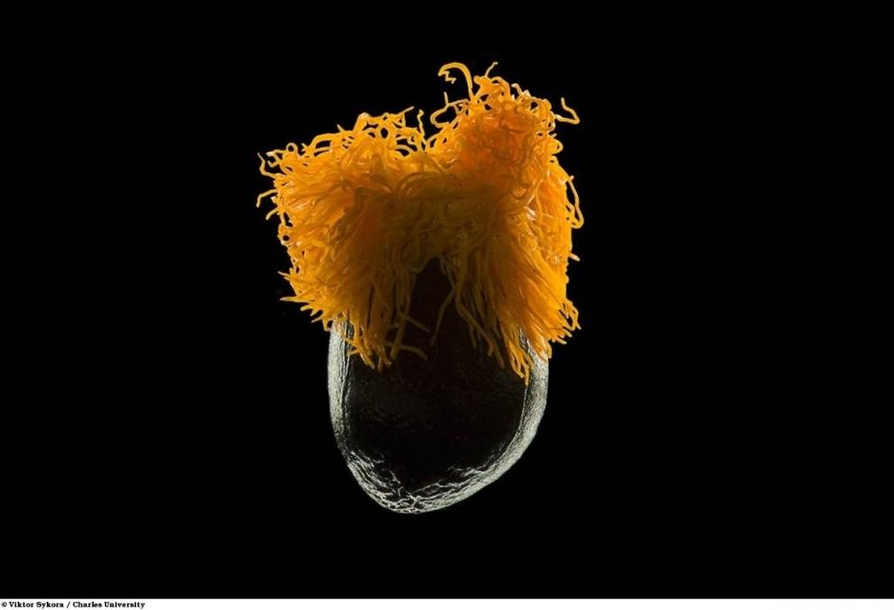 4. Семя журавлиного цветка