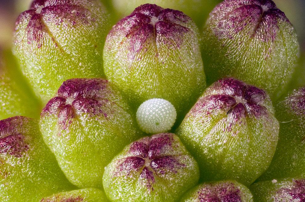 7. Яйцо малинницы в бутонах розовой розы. Изображение увеличено в шесть раз. Оно было сделано Дэвидо