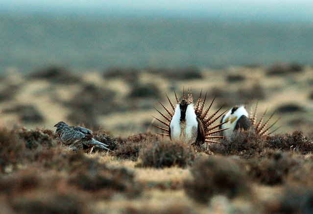 This photo taken April 10, 2014, shows a male sage grouse trying to impress a group of hens, at left