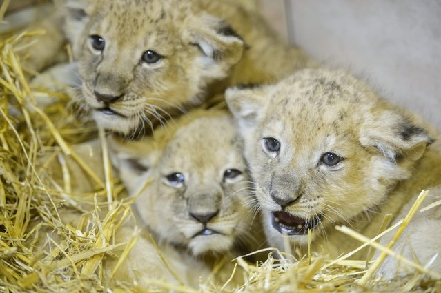 Lion cubs cuddle in the Gyongyos Zoo in Gyongyos, 79 kms northeast of Budapest, Hungary, Tuesday, Fe
