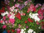 На фазенде рабыни Изауры.  (наши огородно-цветочные хвастики) 0_164c13_46915eb9_S