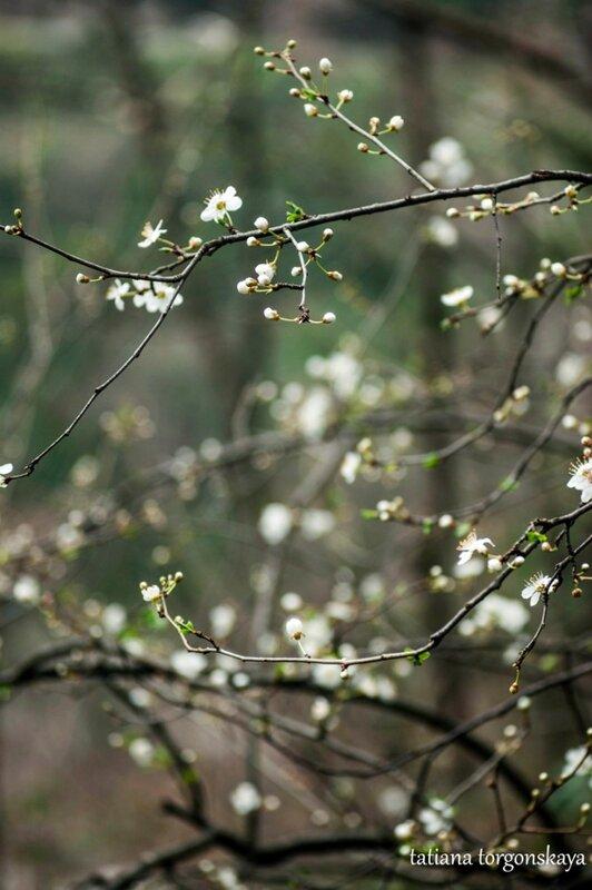 Цветущее плодовое дерево