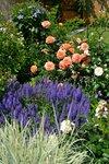 Цветение роз 2015 -Бельведер и шалфей дубравный Blue Hill