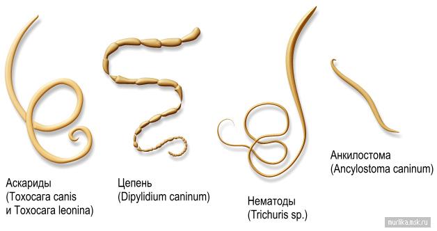 Паразиты у кошек, анкилостомы, цепни, кокцидии, наружные паразиты, блохи, ушные клещи, иксодовые клещи